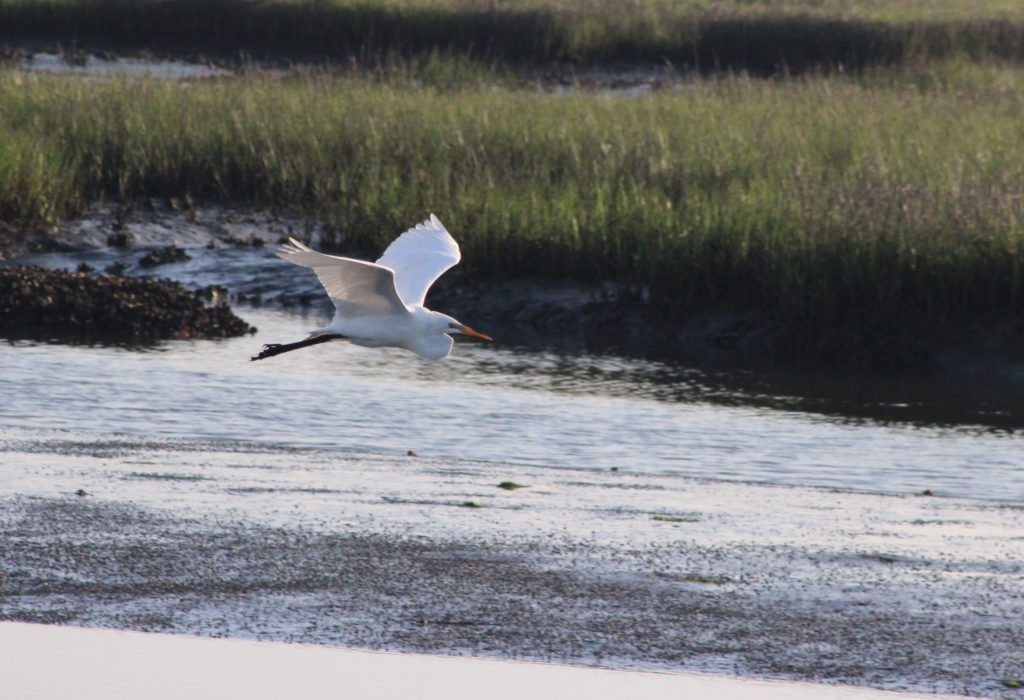 Heron in flight through marsh.