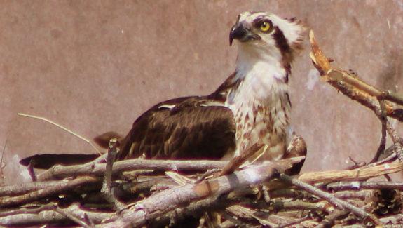 Osprey Nesting